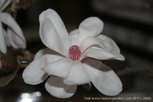 A February Magnolia!