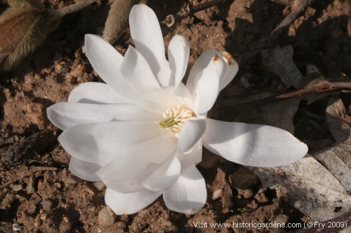 The first magnolia blossom of 2009!