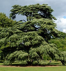 Cedrus libani at Kew