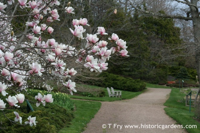 Magnolia 'Legacy' in the Historic Gardens